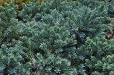 With year-round silvery blue foliage, Juniperus squamata 'Blue Star' is a colorful accent in the landscape. This dwarf conifer is a great small evergreen shrub. Dwarf Evergreen Shrubs, Dwarf Shrubs, Trees And Shrubs, Landscaping With Rocks, Yard Landscaping, Juniperus Squamata, Blue Star Juniper, Drought Tolerant Shrubs, Yard Water Fountains