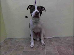 Manhattan Center    GLADIATOR - A0996967    MALE, BROWN / WHITE, PIT BULL, 1 yr, 2 mos  STRAY - STRAY WAIT, NO HOLD  Reason STRAY   Intake condition NONE Intake Date 04/17/2014, From NY 10474, DueOut Date 04/20/2014, I came in with Group/Litter #K14-174243.  https://www.facebook.com/Urgentdeathrowdogs/photos_stream