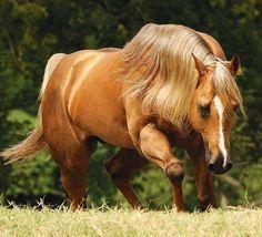 Quarter horse stallion, Firewater Fast. photo: Robson Tegani.