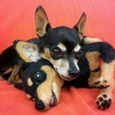 Real minpin and a wool minpin
