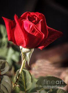 Red Spring Rose:  http://fineartamerica.com/profiles/robert-bales.html?tab=artworkgalleries