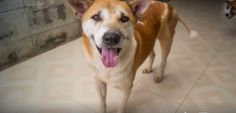 My name is Dayaram. A kind lady found me lying by the side of the road but when I tried to stand, I fell over. The lady managed to get me to the Soi Dog Shelter where I am now being cared for but what I really need is a sponsor to help me with my ongoing care. Will you please go to https://www.soidog.org and sponsor me today?  I had wounds on both of my back legs and I was also diagnosed with low blood platelets. I was battling skin problems and suffering from anaemia.