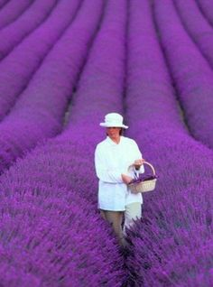 The lavender fields in Provence