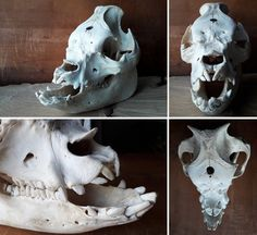 pig skull - breed: Middle White - own collection - (Sturmvoqel aka Federnarr)https://federnarr.deviantart.com/
