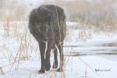 Tundra Wolf -Canis lupus tundrarum #wolf
