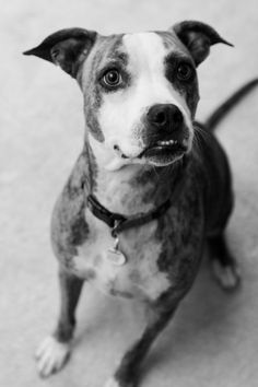 © Love My Life Photography  | black white dog photography, pittie mix,  wedding dog