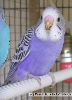 This youngster is a Violet Normal budgie, I do love the Violet colour!