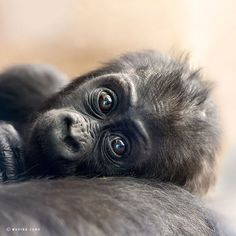 Marina Cano is an internationally renowned nature photographer who travels the globe to capture the most incredible photographs of wild animals I have ever seen. Baby gorilla Primates, Types Of Animals, Dogs, Monkey, Loom Animals, Wild Animals, Animals Beautiful, Sweetie Belle, Monkeys