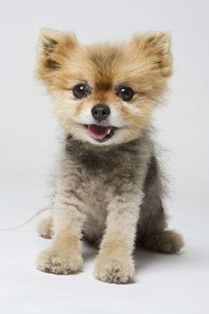 We're yearning for a Pomeranian puppy like this gorgeous little fella.