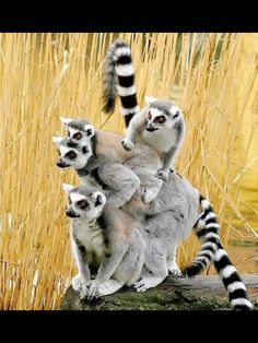 Where? Love lemurs!