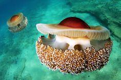 Mediterranean Jellyfish- Read Halkidiki beyond the beaches: 10 alternative experiences in northern Greece Underwater Creatures, Underwater Life, Beautiful Creatures, Animals Beautiful, Beautiful Things, Vida Animal, Rio, Snorkel, Under The Ocean
