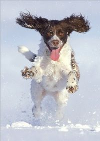 Dogs Trust Springer Spaniel leaping in snow Christmas card - see our top 40 charity Christmas cards here! http://www.charitychoice.co.uk/blog/the-40-best-charity-christmas-cards/103