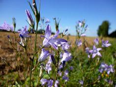 Erbe spontanee commestibili: il raperonzolo, regina delle erbe invernali