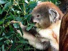 Koalalar Zehirli Okaliptüs YapraklarI ile Beslenirler bunlar oldukça az protein içerirler ve çok liflidirler.Yüksek miktarlarda içerdikleri aromatik yağlar ve kimyasal bileşikler otla beslenen birçok canlı için zehirlidir.Sadece okaliptüs ağaçlarının bazı türleriyle beslenen koalalar bu konuda istisnadırlar.Dişleri sayesinde yaprakları çiğnemeden yutarlar.Yapraklar,koalaların körbağırsaklarına gider,burada bulunan bakteriler sayesinde sindirilir.Karaciğerde zehirden arındırılır ve vücuttn…