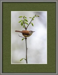 """Sold - Dale Kincaid sold a 5.5"""" x 8"""" print of Carolina Wren to a buyer from North Chelmsford, MA. Image Archive, Art Prints For Sale, Artist Names, Wren, Fine Art Gallery, Artist At Work, Fine Art Photography, Fine Art America, Cool Photos"""