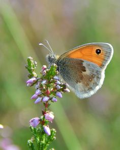 Prachtige kleine vlinder op de Ermelosche heide. Wandelen op de Veluwe.
