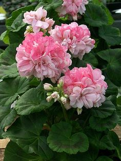Easy To Grow Houseplants Clean the Air Pelargonium 'Susan Paine' Geranium Plant, Pink Geranium, Pink Garden, Colorful Garden, Pink Flowers, Beautiful Flowers, Inside Plants, Houseplants, Beautiful Gardens