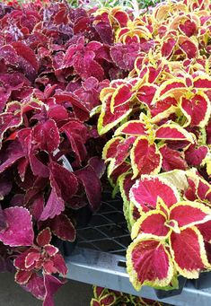 Who needs flowers when you can have the vibrant foliage of coleus? Coleus likes part shade, so keep it out of afternoon sun and water several times a week. Plant alongside popular shade perennials like hosta and heuchera, and annuals like impatiens and nicotiana. For more companion plants, check out The Home Depot's Garden Club.