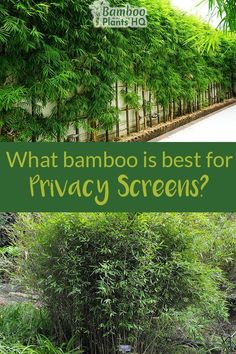 Growing a privacy screen with bamboo is a great idea if you want a fast-growing and affordable solution. Bamboo plants can fill up the desired space within a few months to a couple of years. Bamboo Screening Plants, Privacy Screen Plants, Bamboo Hedge, Bamboo Planter, Privacy Trees, Garden Screening, Bamboo Privacy Fence, Fence Plants, Outdoor Bamboo Plants