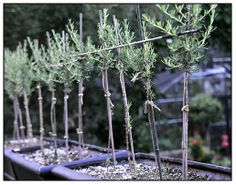 Growing with plants: Topiary and Pleached Potted Plants - really good advice on topiary. Topiary Plants, Topiary Trees, Potted Plants, Veg Garden, Garden Fencing, Garden Plants, Vegetable Gardening, Gardening Tips, Unusual Plants