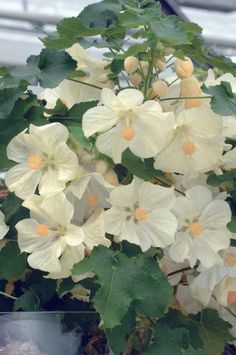 Abutilon x hybridum, F1 Hybrid, 'Bella' Series, Vanilla Seeds £3.15 from Chiltern Seeds - Chiltern Seeds Secure Online Seed Catalogue and Shop