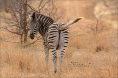 Zebra in the grass - Wildlife Photographer Community Wildlife photographer Rene van der Schyff  shared this stunning image of zebra on http://photos.wildfact.com, a website community for wildlife photographers only. To enjoy the image click below link to view in full mode, to join the community, see many other wildlife photographs and follow wildlife photographers http://photos.wildfact.com/image/576/zebra-in-the-grass  #Wildlife #WildlifePhotography #Photography