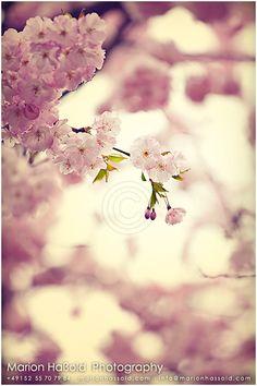 *Sehnsucht nach Frühling*    - Japanische Kirschblüte -      Die ersten warmen Sonnenstrahlen bringen die Sakuras zum blühen. Da geht einem das Herz a