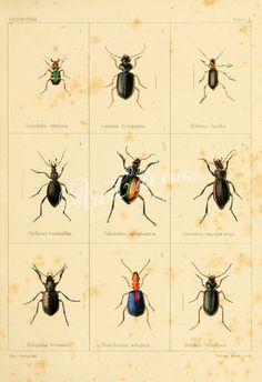 031-Beetle, coleoptera      ...