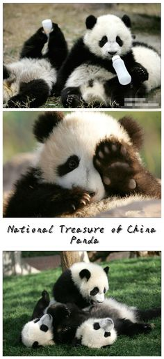 Animal - Chinese National Treasure - Panda, adorable , Join Family Travel, China Muslim Tour, Halal Trip, Tourism Package, Enjoy Halal Food in Halal Chinese Restaurants with muslimtourtravel.com in China.