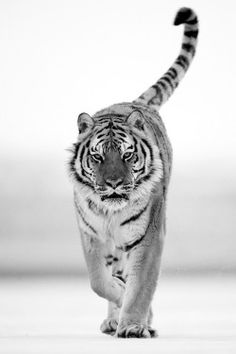 Black and White fashion animal lion tiger
