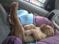 25 funny sleeping dogs and puppies who can make your day Cute Puppies, Cute Dogs, Dogs And Puppies, Doggies, 15 Dogs, Baby Animals, Funny Animals, Cute Animals, Tired Animals