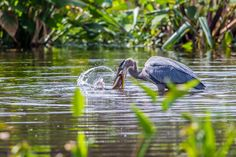 Great Blue Heron  Catching Dinner, Wakodahatchee Wetlands