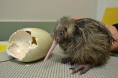Newly hatched Kiwi chick (Auckland Zoo, New Zealand) : aww Animals And Pets, Baby Animals, Animal Babies, Fur Babies, Baby Kiwi, Kiwi Bird, Flightless Bird, Budgies, Parrots