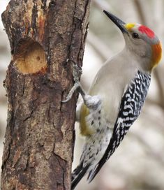 Picture of a woodpecker drilling.