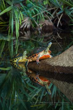 Florida Red-Bellied Turtles at Green Cay Wetlands in Florida (Show Me Nature Photography). Pet Turtle, Turtle Love, Baby Turtles, Turtle Bay, Terrapin, Animal Photography, Nature Photography, Kawaii Turtle, Tortoise As Pets
