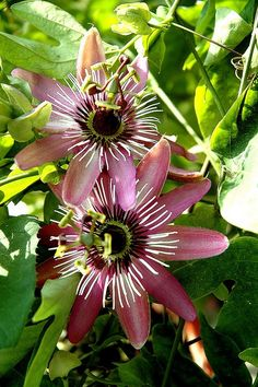 One of the best-smelling flowers in the world. Strange Flowers, Unusual Flowers, Unusual Plants, Rare Flowers, Flowers Nature, Beautiful Flowers, Beautiful Gorgeous, Tropical Flowers, Flowering Vines