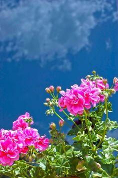 geranium…