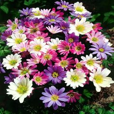 Anemone blanda Mix - 20 flower bulbs Buy online order yours now