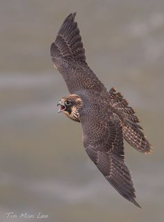 Peregrine Falcon Soaring. Flight just never ceases to amaze me.