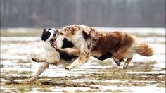 Would you jump at the chance to extend the life of your beloved dog? To discover how, go to http://lovedogs.from.media/go  Power of the Border Collie