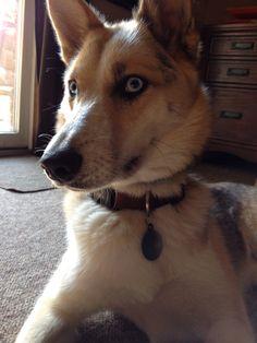 Elenore! Husky/ shepherd