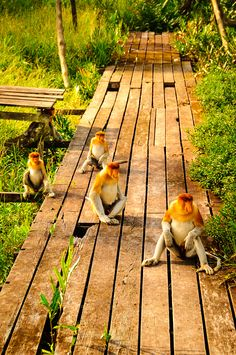 Labuk Bay Proboscis Monkey Sanctuary, Borneo. To book go to www.notjusttravel.com/anglia
