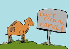 There's a camel on San Juan Island...and her name is Mona!