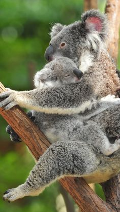 koala mommy and baby