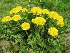 What is Dandelion (Taraxacum officinale)? How to Eat dandelion, how to forage for dandelion. Dandelion recipes, where to buy dandelion seeds. Mustard Plant, Dandelion Leaves, Dandelions, Dandelion Flower, Wild Lettuce, Taraxacum Officinale, Perennial Vegetables, Edible Wild Plants, Perennials