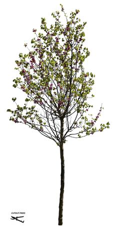 FREE IMAGE.  Available for a limited amount of time. 49.4M, 2991 x 5769 pixels, PNG image, Transparent background. 19,1 MB file, ready to download. Cercis siliquastrum. Judas tree,  with flowers