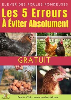 Elevating laying hens the 5 errors to keep away from completely Pets Online, Laying Hens, Garden Online, Potager Garden, Keeping Chickens, Chicken Runs, Coops, Permaculture, Agriculture