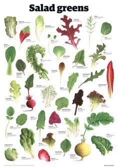 Salad greens - Guardian Wallchart Prints - Easyart.com    Food wall  chart…