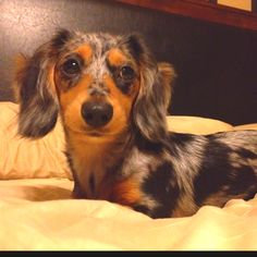 Snoot Magoot! My doll Havarti~a longhaired dapple doxie <3