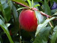 Growing Fruit Trees in Co- Published by Colorado State University- including spacing and canopy sizes